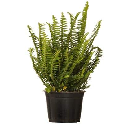 6 in. Kimberly Queen Fern Live Indoor Outdoor Plant Shipped in Grower Pot