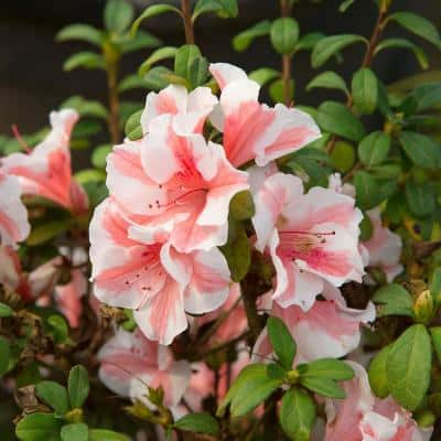 1 Gal. Autumn Starburst Encore Azalea Shrub with Coral Pink and White Reblooming Flowers