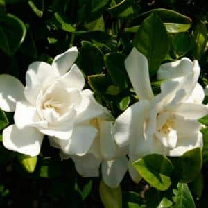 2 Gal. Jubilation Gardenia, Live Evergreen Shrub, White Fragrant Blooms