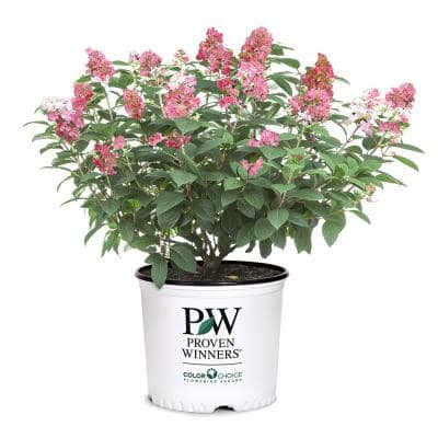 2 Gal. Little Quick Fire Hydrangea Shrub with White to Pink-Red Blooms