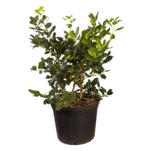 2.4 Gal. Nellie R. Stevens Holly Shrub(Ilex), Live Evergreen Shrub, Glossy Foliage with Bright Berries