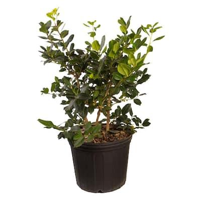 2.4 Gal. Nellie R. Stevens Holly Shrub(Ilex), Live Evergreen Shrub, Glossy Foliage with Bright Berries