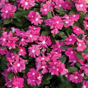 Cora Pink Vinca (Catharanthus) Live Plant, Bright Pink Flowers with a White Center, 4.25 in. Grande