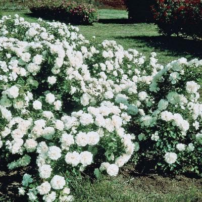 White Meidiland Groundcover Rose, Live Bareroot Plant, White Color Flowers (1-Pack)
