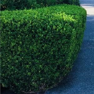 2.5 Gal - Green Velvet Boxwood Shrub (Buxus) with Cold-Hardy and Deer-Resistant Leaves