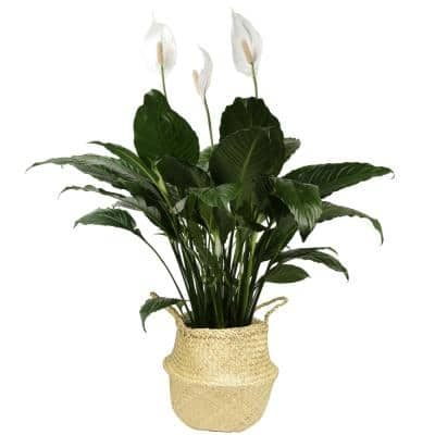 9.25 in. Spathiphyllum Plant in Natural Decor Basket