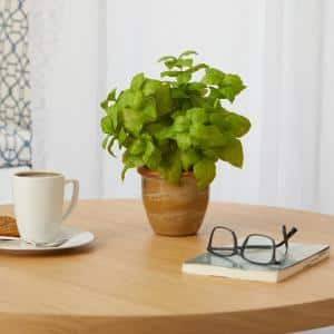 12in. Basil Artificial Plant in Ceramic Planter