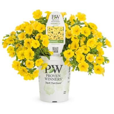 4.25 in. Proven Winners Grande Superbells Yellow Live Calibrachoa Plant with Yellow Flowers (4-Pack)