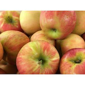 Dwarf Honeycrisp Apple Tree Bare Root