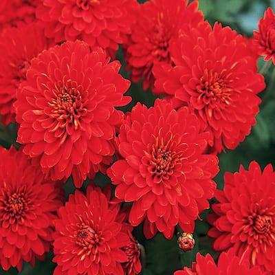 8 in. Red Chrysanthemum Plant