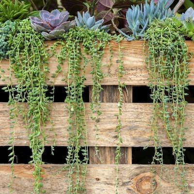 4 in. String of Bananas Senecio Plant in Grower Pot (4-Piece)