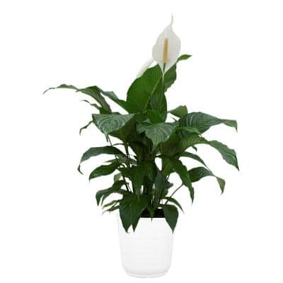 Spathiphyllum Plant in 9.25 in. White Paradise Planter