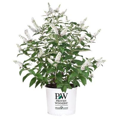 2 Gal. Miss Pearl Buddleia Shrub with Crisp White Blooms