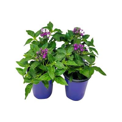 1.38 Pt. Penta Plant Violet Flowers in 4.5 In. Grower's Pot (4-Plants)