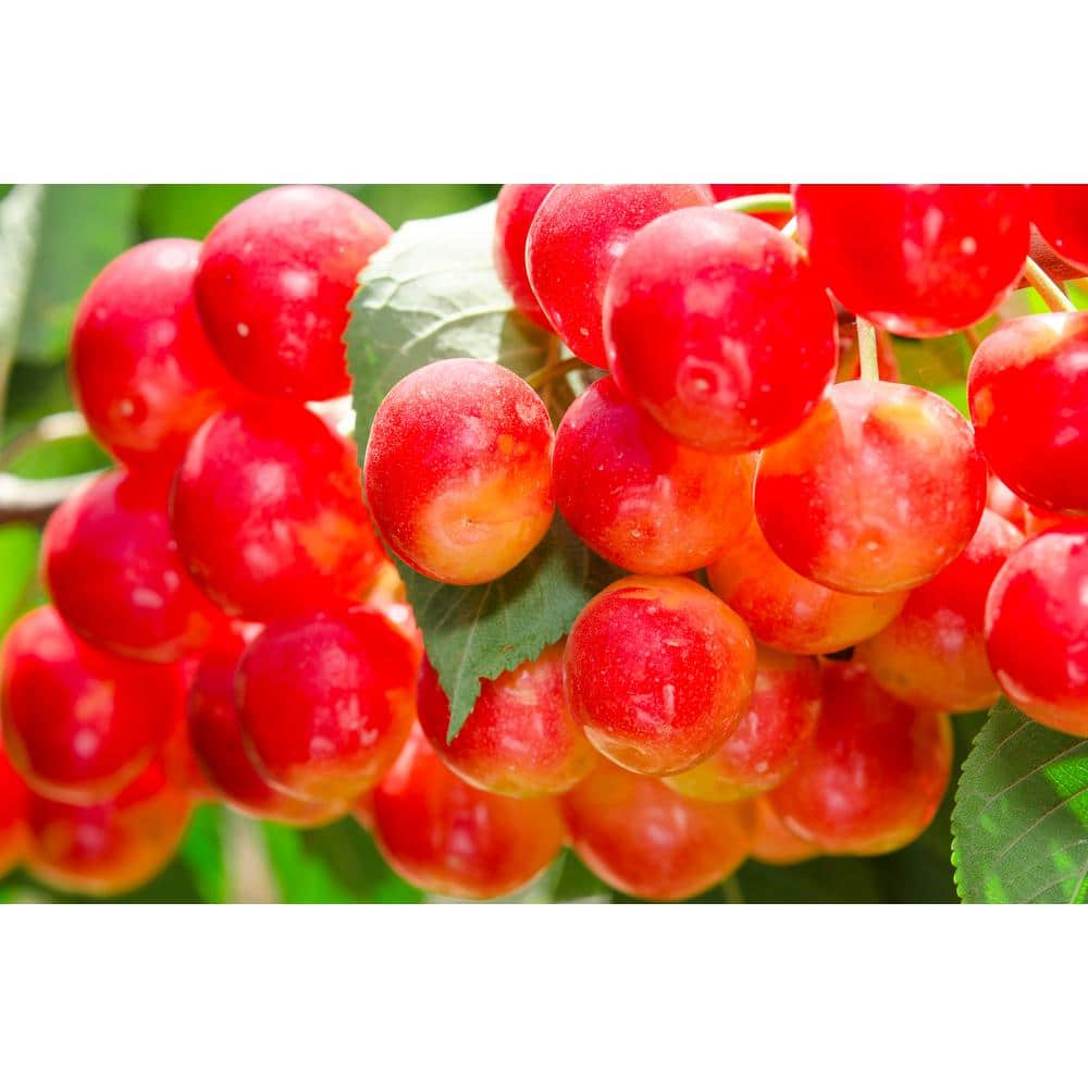 Online Orchards Dwarf Rainier Cherry Tree Bare Root Ftch001 The Home Depot