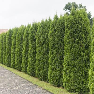 9.25 in. Pot - Emerald Green Arborvitae(Thuja) Live Evergreen Shrub/Tree, Green Foliage