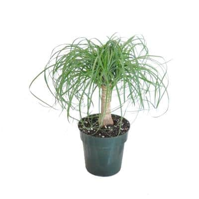 10 in. to 16 in. Tall Ponytail Palm Live Indoor Beaucarnea Guatemalensis Houseplant Shipped in 6 in. Grower Pot