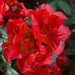 3 Gal. Autumn Fire Shrub with True Red Reblooming Flowers