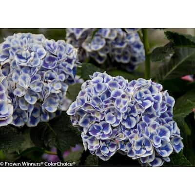 4.5 in. qt. Cityline Mars Bigleaf Hydrangea (Macrophylla) Live Shrub, Blue, Pink and Green Flowers