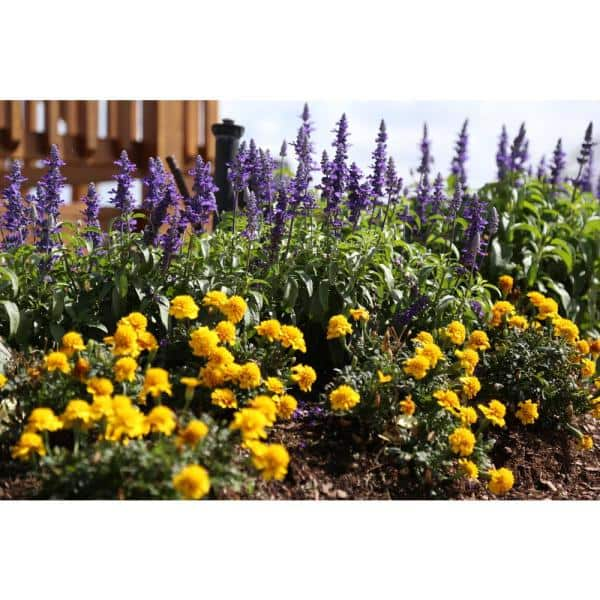 Reviews For Costa Farms 1 Pt Yellow Marigold Flowers In Grower S Pot 12 Pack 1ptyelmari12pk The Home Depot