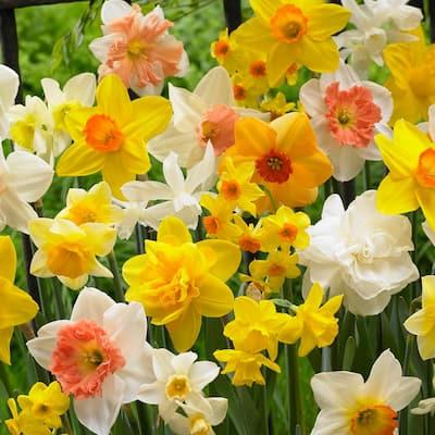 Daffodils Bulbs Kitchen Sink Mixture (Set of 50)