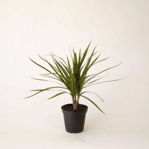 4 in. Dracaena Marginata (Dracaena Marginata) Plant in Grower Pot