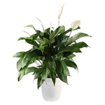 13 in. Spathiphyllum Plant in Havana Container
