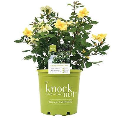 2 Gal. Yellow The Sunny Knock Out Rose Bush with Yellow Flowers