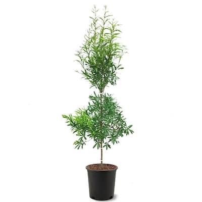 5 Gal. Willow Deciduous Oak Tree