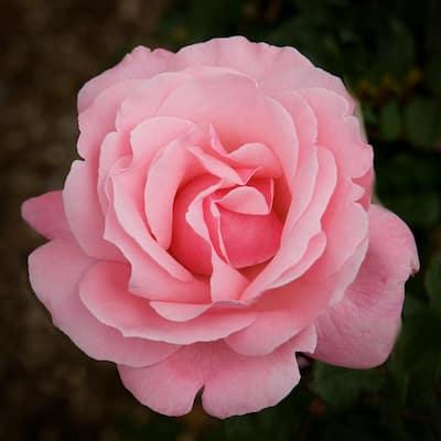 Pink Rose Queen Elizabeth Root Stock