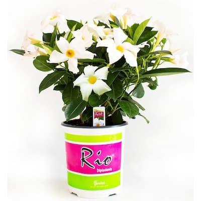 1G Dipladenia Flowering Annual Shrub with White Blooms