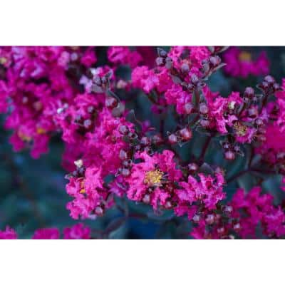 Black Diamond Purple Deciduous Mystic Magenta Crape Myrtle Tree