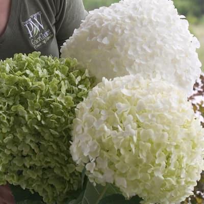 1 Gal. Incrediball Smooth Hydrangea, Live Shrub, Green to White Flowers