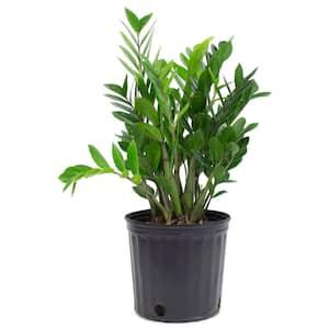1.9 Gal. Zanzibar Gem Zamioculcas ZZ Plant in 9.25 in. Grower's Pot