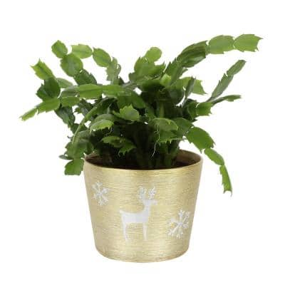 6 in. Fresh Christmas Cactus Grower's Choice Blooms in Holiday Decor Planter