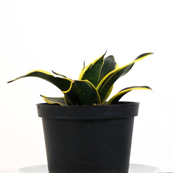 Tropicalplants Com Black Gold Snake Plant Sansevieria Trifasciata Live Plant In 6 In Decorative White Ribbed Planter Anfsanblckwrp06 The Home Depot