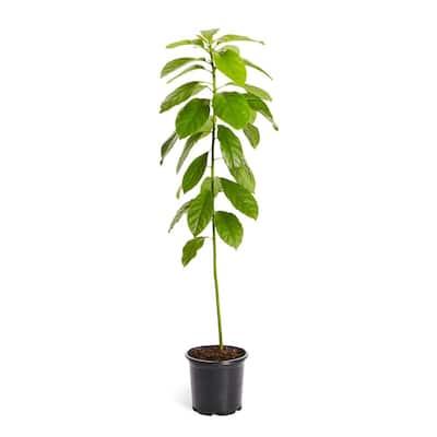 1 Gal. Hass Avocado Tree