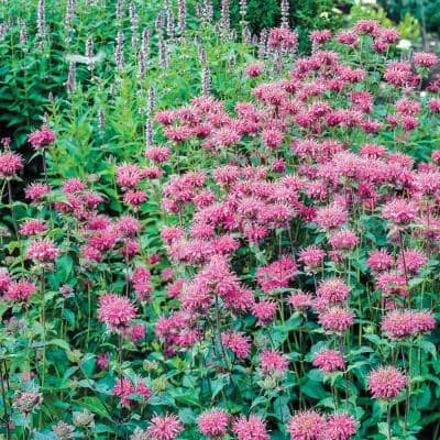 Pink Flowers Pink Bee Balm (Monarda) Live Potted Perennial with 3 in. Pot