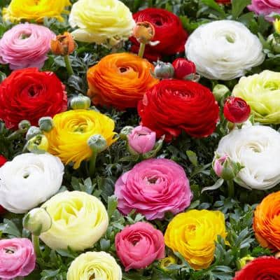 Butter Cups Ranunculus Double Blooming Mixed Bulbs (75-Pack)