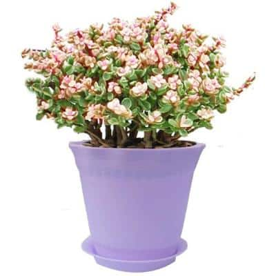 Purple Polyresin Planter Succulent Planter, Decorative Wavy Edge (1-Pack)