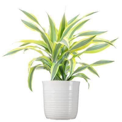 Dracaena Lemon Lime Plant 24 in. to 34 in. Tall in 10 in. White Decor Pot