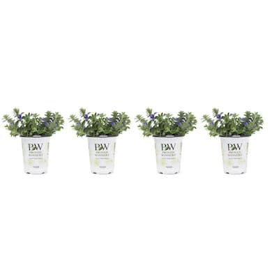 1 Qt. Blue Daze Evolvulus Plant Flowers in Grower's Pot (4-Pack)