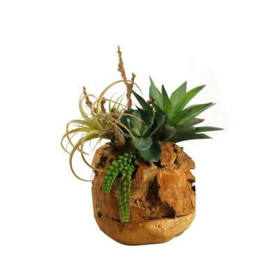 Indoor Air Tilandsia, Agave Plant and Wild Succulent in Wooden Root Ball