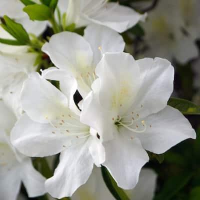 2.25 Gal. Azalea Irish Creme Flowering Shrub with White Blooms