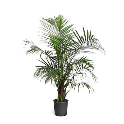 3 Gal. Majesty Palm in Pot