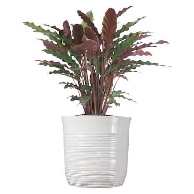Calathea Rufibarba Plant 24 in. to 34 in. Tall in 10 in. White Decor Pot
