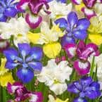 New and Exclusive Iris Siberica Speciality Mixture 339 Roots (5-Set)