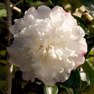 2.5 Qt. October Magic Snow Camellia Sasanqua Evergreen Shrub with White Blooms, Live Plant