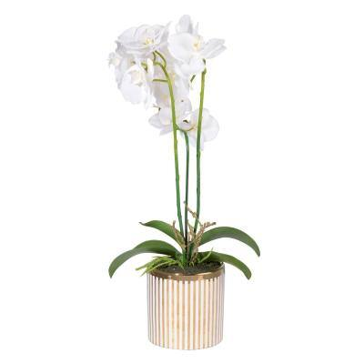 White/Gold Stripe Potted Orchid