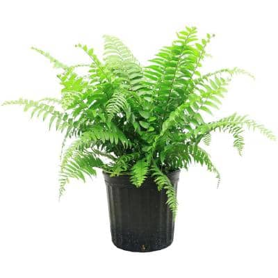 1.9 Gal. Macho Fern Plant in 9.25 in. Grower Pot